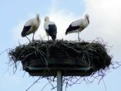 Storchennest in Prädikow